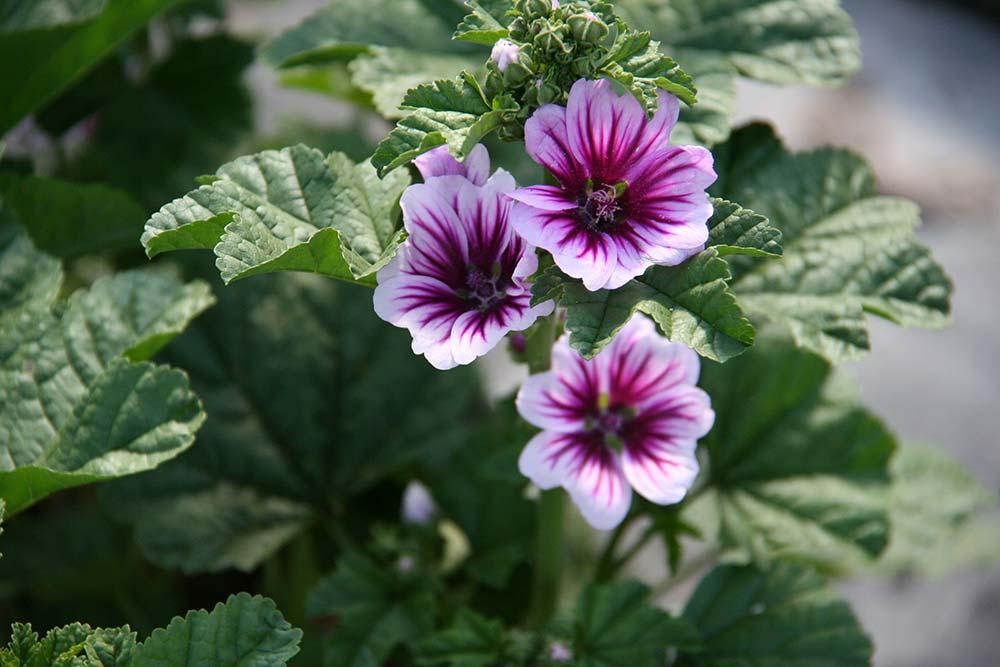 Cosa sono e come si mantengono le piante perenni antica for Piante ricadenti perenni